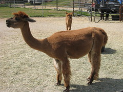2008Apr19_Alpacas_1887