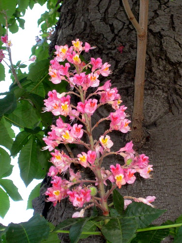 The flower of the Red Horse Chestnut