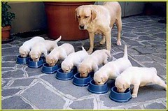 Mama lab with puppies