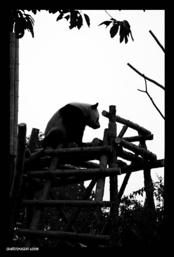 MY PANDA ADOPTION JOURNEY..CHENGDU PANDA BASE 2/08