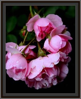 g02: wet little roses     720☺28