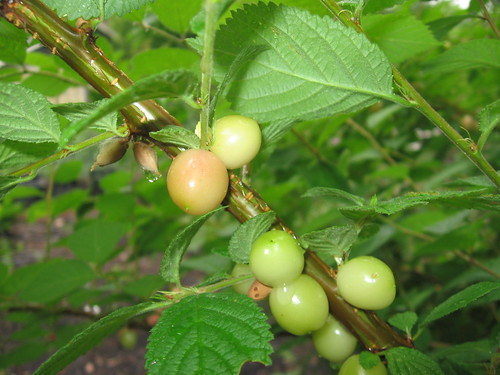 white nanking cherries