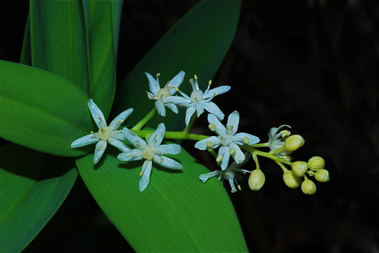 Wild lily of the valley