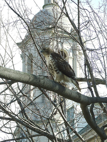 red-tailed hawk in maple
