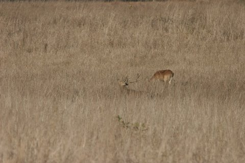 barasingha mating call( the doe is not impressed)