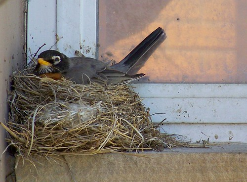Robin sitting on nest