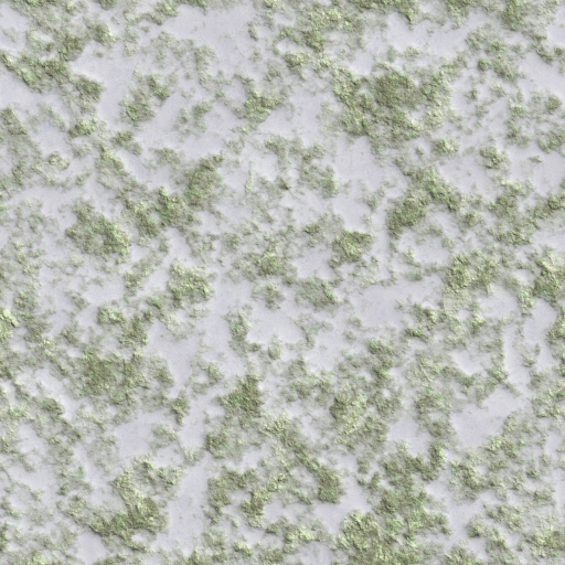 GG Snow Grass