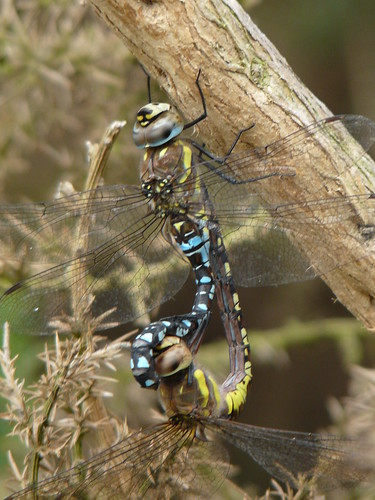 Common Hawkers (?)