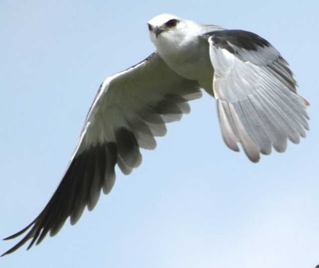 image001-1 black-shouldered kite flight nandi hills 300907
