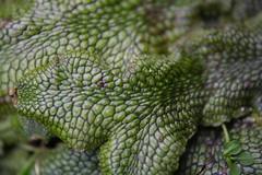 Snake Liverwort
