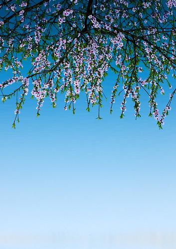 Sakura -- Pyongyang, spring 2009