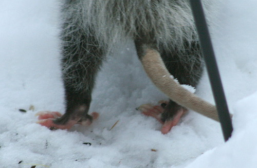 Possum feet with opposable toes