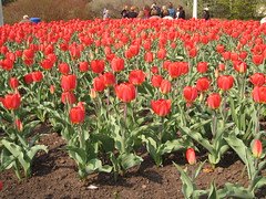 Canadian Tulip Festival - Commissioners Park 15