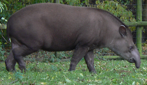 a tapir, but not the flying kind