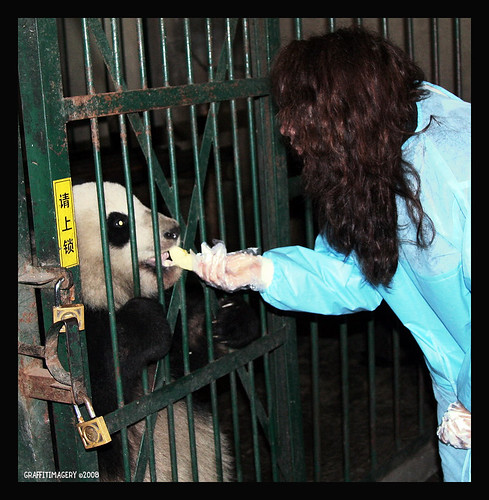 HERE I AM FEEDING ONE OF THE PANDAS AT THE CHENGDU PANDA BASE IN CHINA