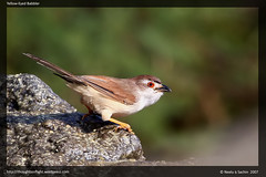 Yellow Eyed Babbler