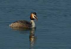 Great Crested Grebe - 4. The swallow