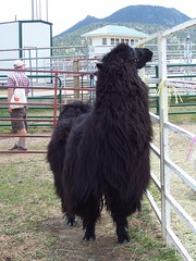 There were llamas . . .