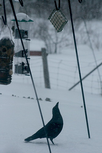 Crow checking out suet