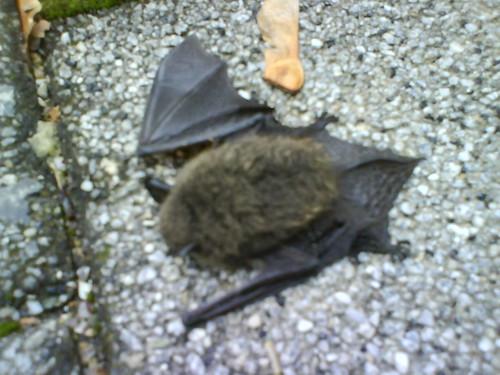 An injured bat