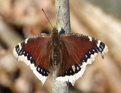 Mourning Cloak by Jennifer Schlick