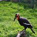 Orange / black bird