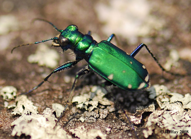 Six-spotted Green Tiger Beetle - Flickr Outing Luskville Falls, Luskville, Quebec