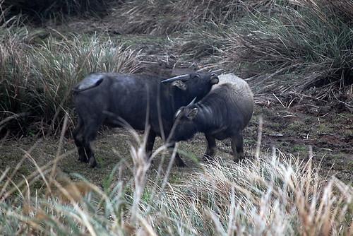 Yangmingshan's wild cows
