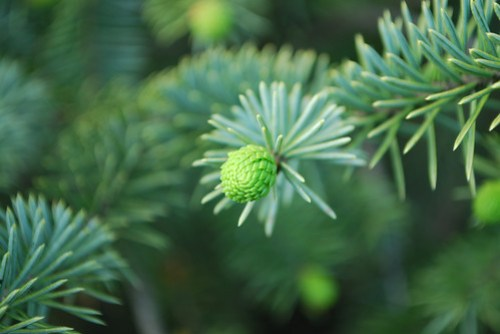 Picking Spruce Tips - 2