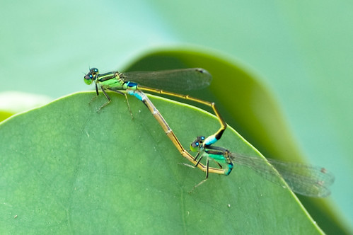Damselflies - Common Bluetail