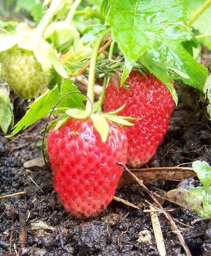 red_ripe_strawberry