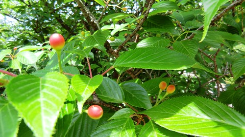 Sakura Fruit