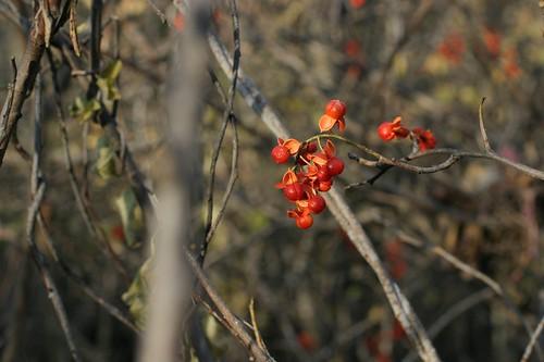 Bright, Ripe Berries