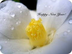 Happy New Year (white camelia)
