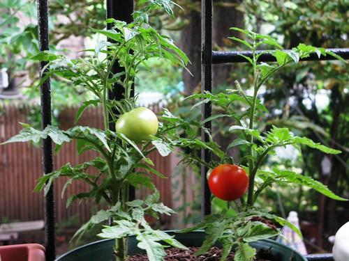 Fire Escape Tomato, 100% Safe