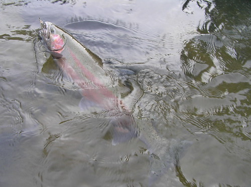 Wild Buck Steelhead