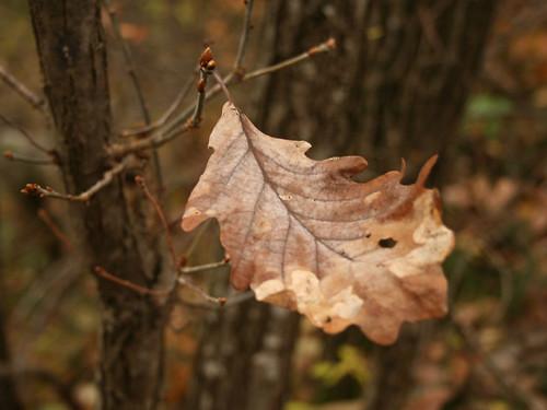 Oak leaf | Foglia di quercia