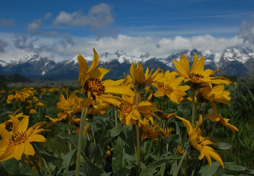 balsam root by mbt_photos.