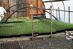 seedlings inside the hoop house