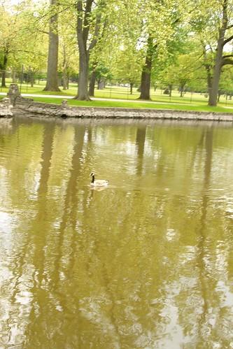 Swimming goose amongst tree shadows