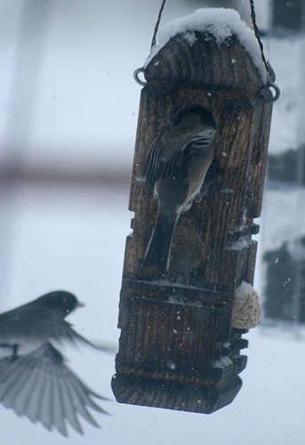 Juncos at suet