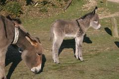 New Forest Donkey