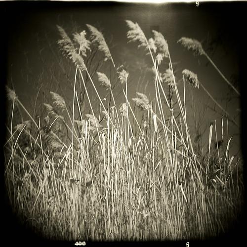 holga_reeds2
