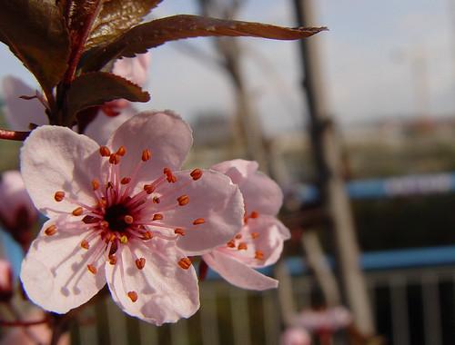 pink plums