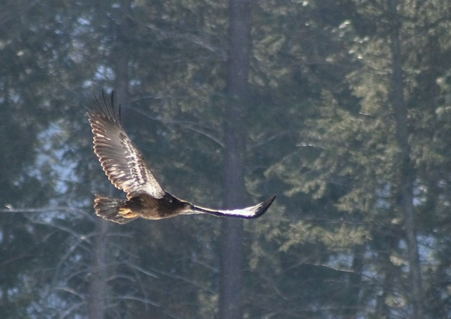 Juvenile Bald Eagle in flight (1st year)