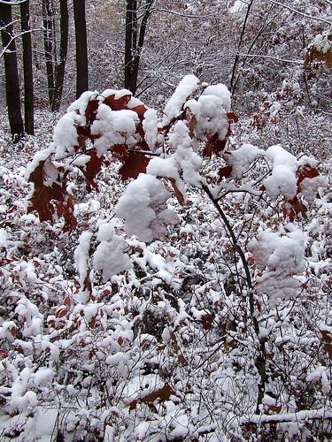 red oak sapling in snow