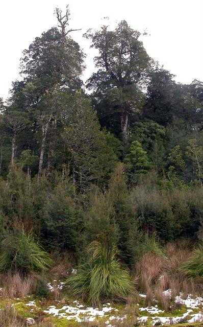 Nothofagus cunninghamii rainforest