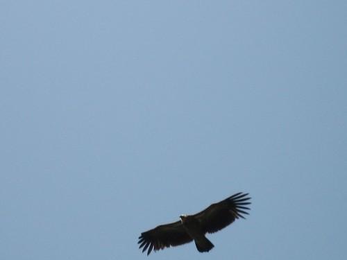 Himalayan eagle