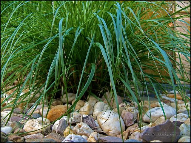 #139/365 Switchgrass