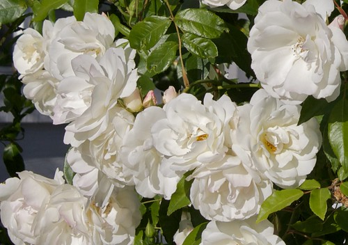 Happy, happy rose bush